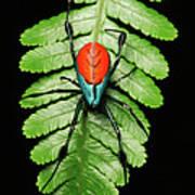 Longjawed Orb Weaver Opadometa Sp Art Print