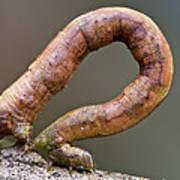 Looper Moth Geometridae Caterpillar Art Print