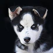 Lop Eared Siberian Husky Puppy Art Print