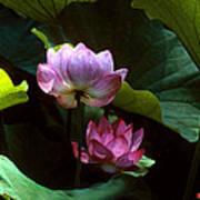 Lotus--dimensions 20h Art Print