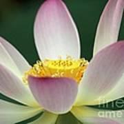 Lotus Diva Art Print