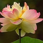 Lotus In The Dark Water Art Print