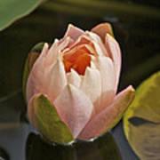 Lotus Opening 2804 Art Print