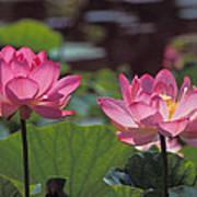 Lotus Pair 24m Art Print