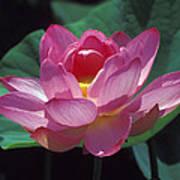 Lotus--secrets Within 24k Art Print