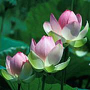 Lotus--stepping Stones 24p Art Print