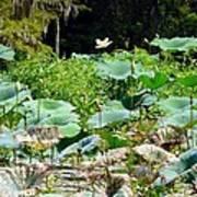 Louisiana Lily Pads Art Print