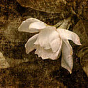 Love Letter Ix Cape Jasmine Gardenia Art Print by Jai Johnson