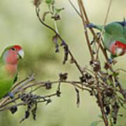 Lovebirds At Play  Art Print