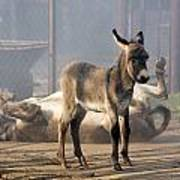 Loving Family Of Donkeys Art Print by Odon Czintos