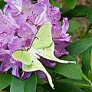 Luna Moth On Rhododendron 1 Art Print