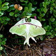 Luna Moths' Afternoon Delight Art Print
