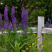 Lupines With Fence Art Print