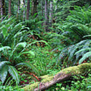 Lush Rain Forest In Olympic National Park Art Print