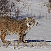 Lynx In Winter Art Print