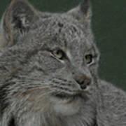 Lynx Painterly Art Print