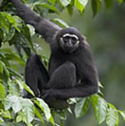 M�llers Bornean Gibbon Hylobates Art Print