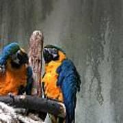 Maccaw Parrots Art Print