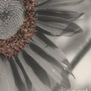 Macro Sunflower In Partial Color Art Print