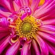 Magenta Petals Art Print