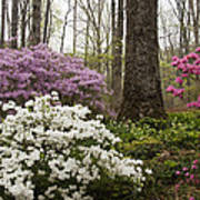 Magical Azaleas At Callaway Botanical Gardens Art Print
