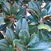 Magnolia Leaves 2 Art Print