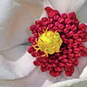 Magnolia Sieboldiana Closeup Art Print