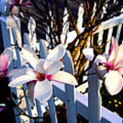 Magnolis's On A Picket Fence Art Print