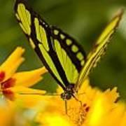 Malachite Butterfly On Flower Art Print