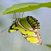 Malachite Butterfly On Leaf Art Print