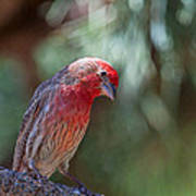 Male House Finch Art Print