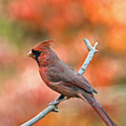 Male Northern Cardinal - D007810 Art Print