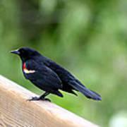 Male Red-winged Blackbird Art Print
