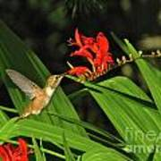 Male Rufous Hummingbird Art Print