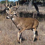Male White-tailed Deer Art Print