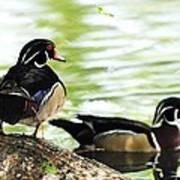 Male Wood Ducks Art Print