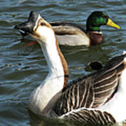Mallard And Chinese Swan Goose - Anser Cygnoides - Featured In Wildlife Group Art Print