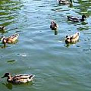 Mallard Ducks Art Print
