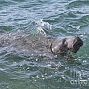 Manatee At Ponce Inlet Art Print