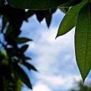 Mango Tree Leaf Art Print