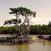 Mangroves In The Everglades Art Print