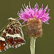Map Butterfly Araschnia Levana Art Print