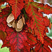 Maple Leaves And Seeds Art Print
