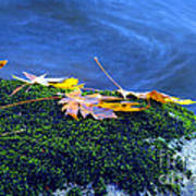 Maple Leaves On Mossy Rock Art Print