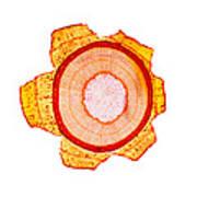 Maple Stem, Light Micrograph Art Print