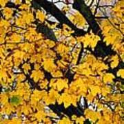 Maple Tree Panorama Art Print