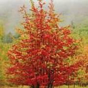 Maples In The Mist Art Print