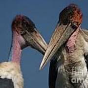 Marabou Storks Art Print