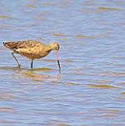 Marbled Godwit Searching For Food Art Print