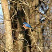 March Bluebird Art Print